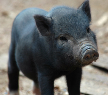 Straight Talk about Swine Flu (Last updated 20 July 2009) 1