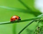 Coccinella to Deter Aphids and Other Soft-bodied Insects 1