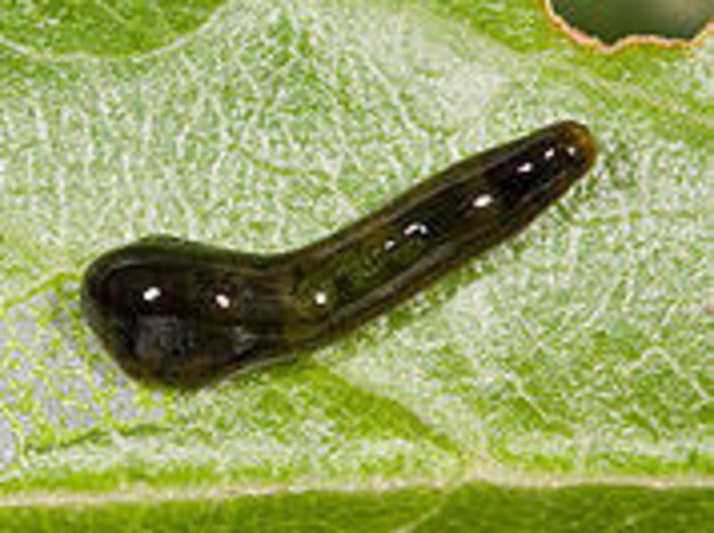 Kaviraj on Fleas, Slugs and More 3