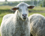 Ask Kaviraj -Issue 8 - Homeopathy for Sheep, and More 9