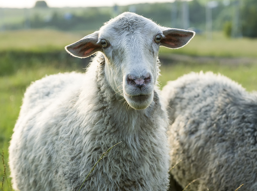 Ask Kaviraj -Issue 8 - Homeopathy for Sheep, and More 1