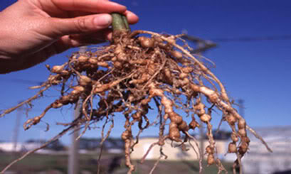 Root-Knot Disease and Agrohomeopathy 2