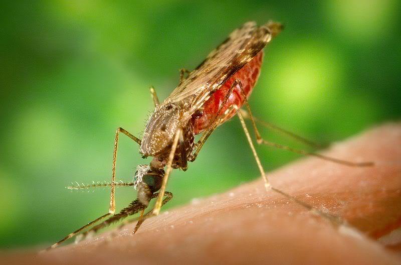 mosquito_zps24185751