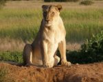 Lioness Treated with Homeopathy 7