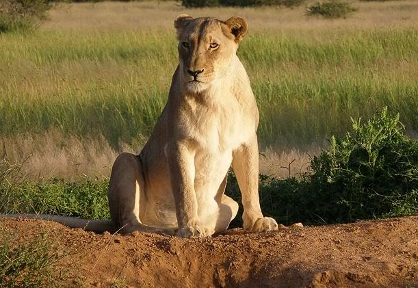 Lioness Treated with Homeopathy 1