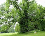 Ash Tree Die-Back: Can Homeopathy Help? 4