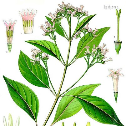 Cinchona officinalis (Chin.) 2