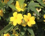Know Your Remedies: Gelsemium Sempervirens (Gels.) 1