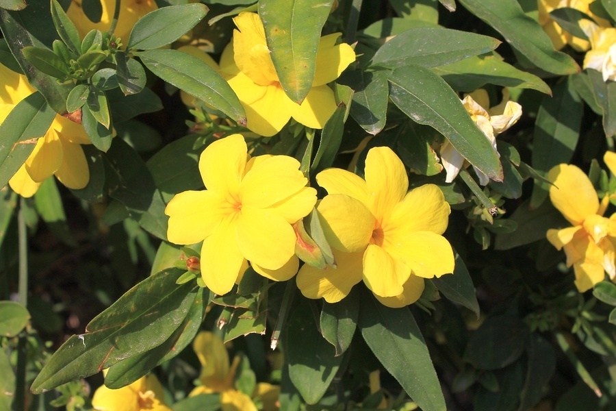 Know Your Remedies: Gelsemium Sempervirens (Gels.) 2
