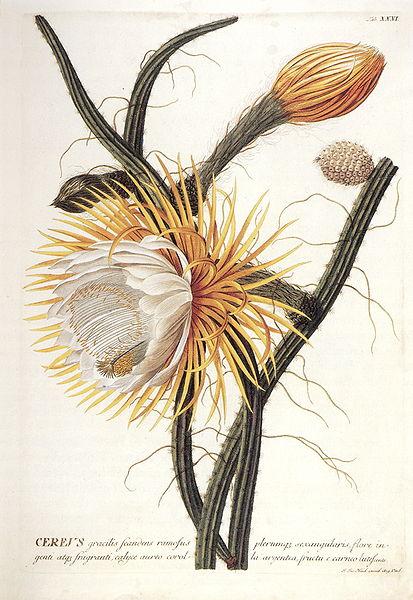 Cactusgrandiflorus_zpsc4a5dd33