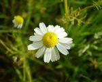 Chamomilla matricaria (Cham.) 9