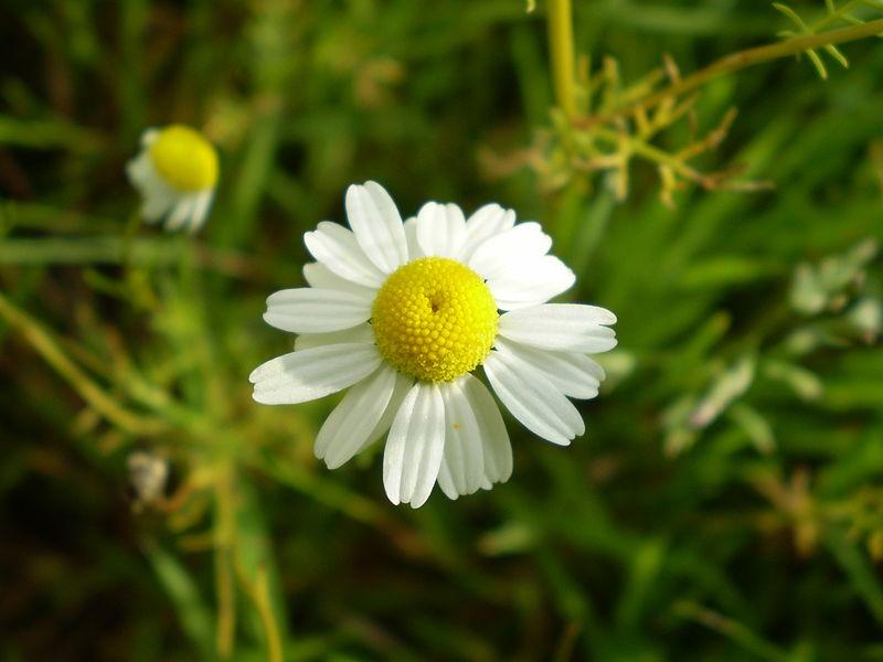 Chamomilla matricaria (Cham.) 4