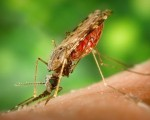 Homeopathy for malaria 4
