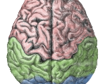 Cerebral_lobes_zps0512b3b3
