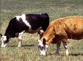 Homeopathy a Placebo on the Farm? 1