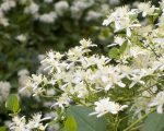 Know Your Remedies: Clematis Erecta (Clem.) 5