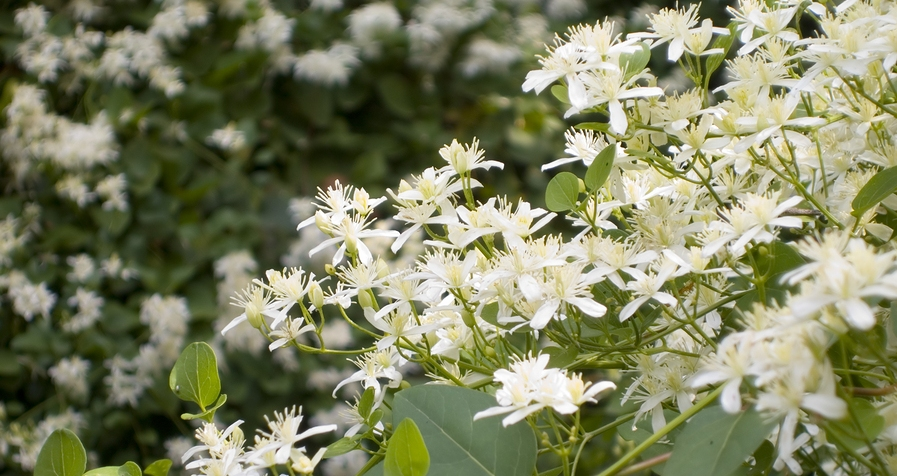 Know Your Remedies: Clematis Erecta (Clem.) 1