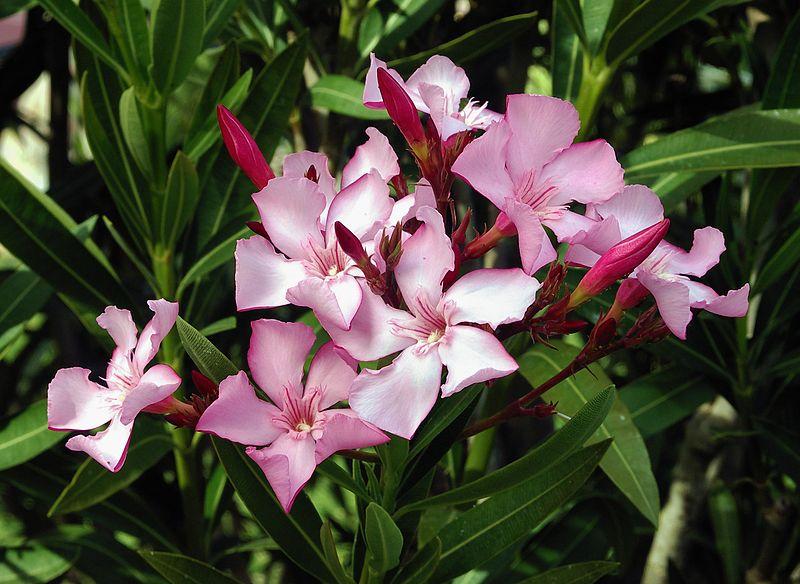 800px-Nerium_oleander_flowers_leaves