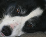 A dog's life: Molly's mange, eczema and lack of confidence helped by homeopathy 9