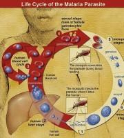 antimalaria