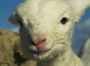 Video: Stress Relief for Lambs 1