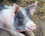 Q: Are Any Homeopathic Remedies Made from Pork? 1