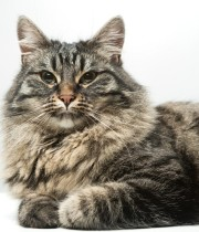Long_haired_cat