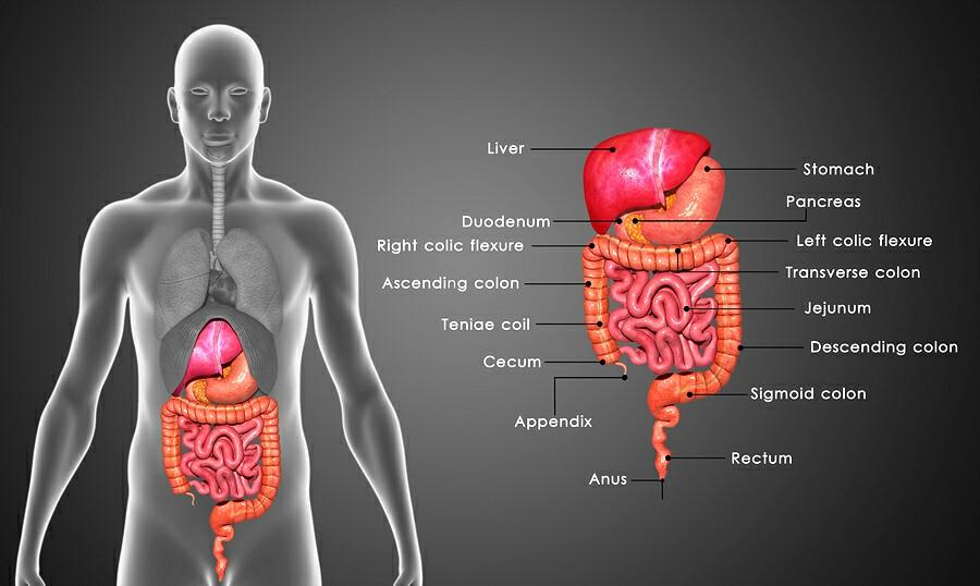 GIT Organs