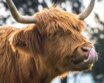 BBC Radio: Homeopathy for happy herds 9
