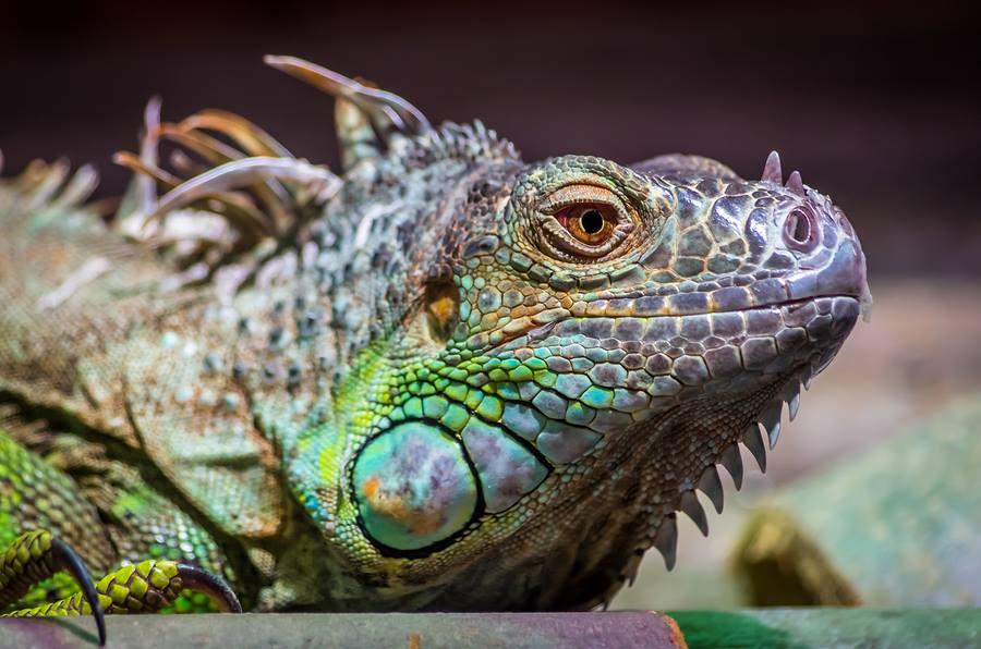 Iguana gets homeopathic help 2