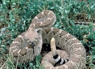 Case report: Homeopathy for rattlesnake bites 3