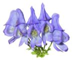 A close up of the blue flowers of poisonous plant (Aconitum taigicola). Isolated on white.