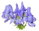 Know Your Remedies: Aconitum napellus (Acon.) 8