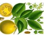 Know Your Remedies: Ignatia Amara (Ign.) 3