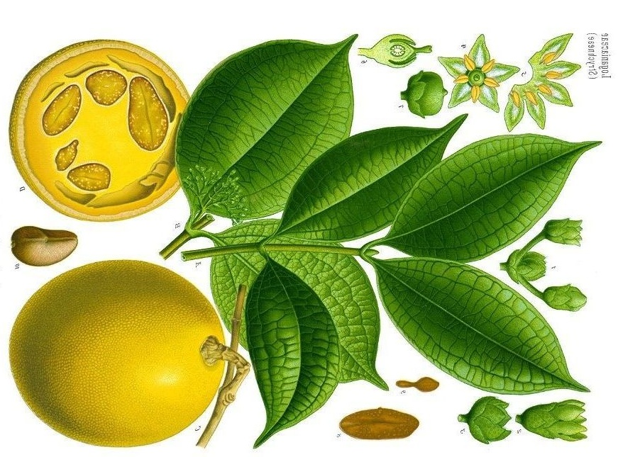 Know Your Remedies: Ignatia Amara (Ign.) 1