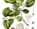 Know Your Remedies: Nux Vomica (Nux.) 1
