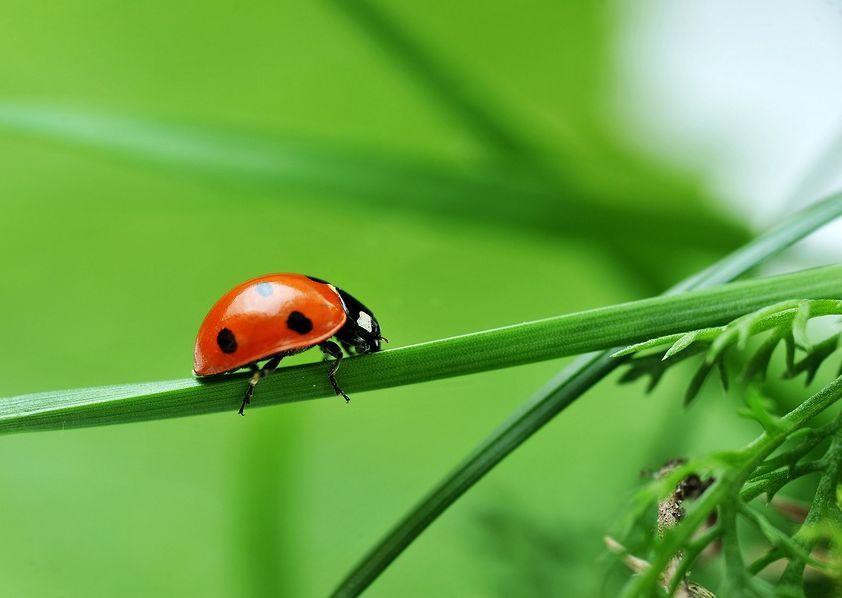 Coccinella – The gardener's friend 5