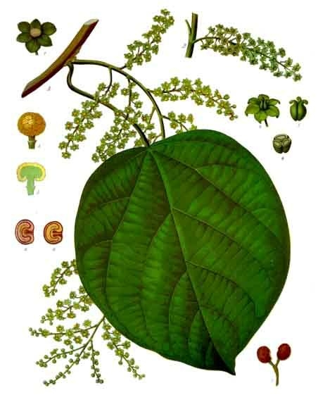 Know Your Remedies: Cocculus Indicus (Cocc.) 1
