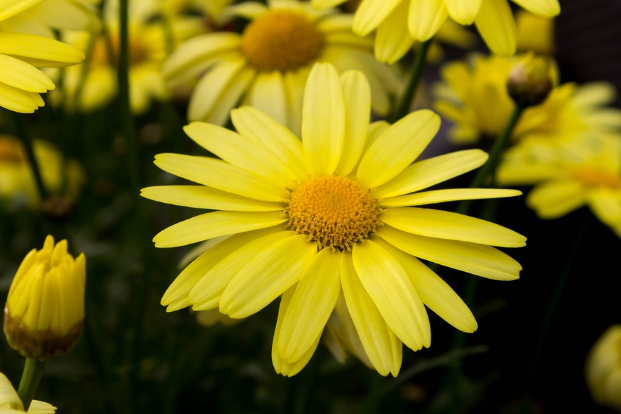 Arnica montana European flowering plant used in herbal medicine