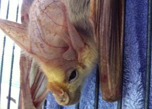 Even Little Bats Need Some Homeopathy at Times 1