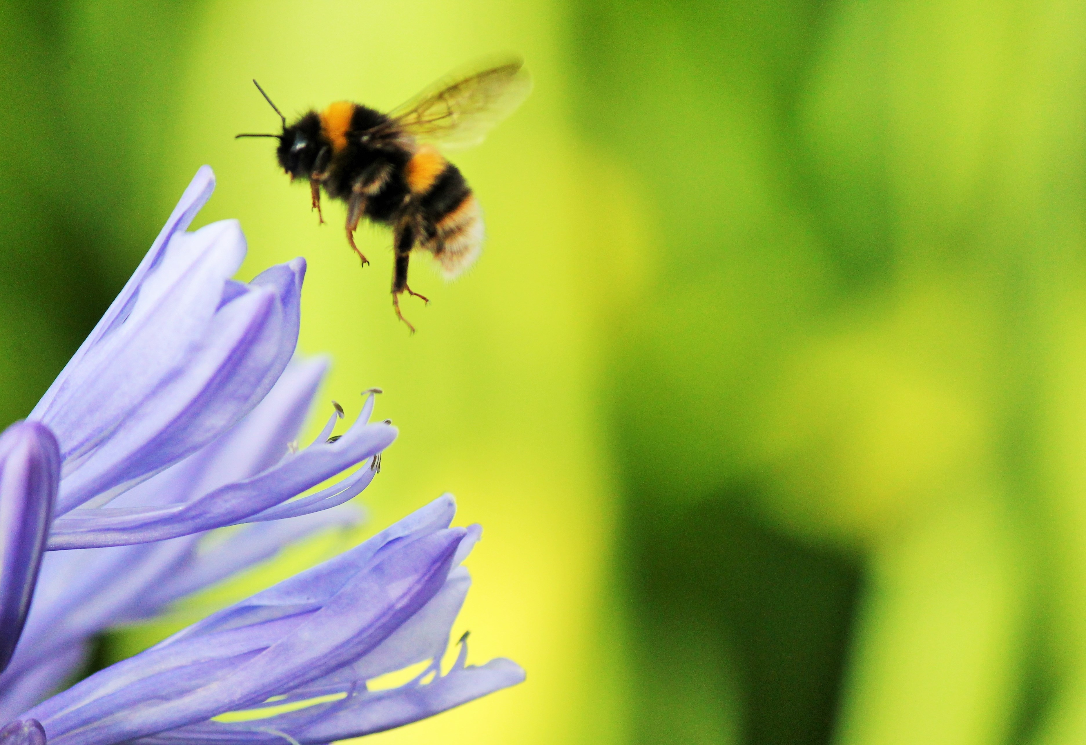 Know Your Remedies Apis Mellifica Apis Homeopathy Plus