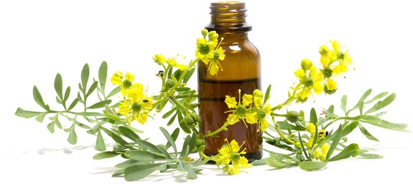 Know Your Remedies - Ruta Graveolens (Ruta) 1