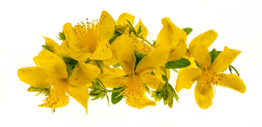 Know Your Remedies: Hypericum Perforatum (Hyper.) 3