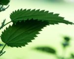 Know Your Remedies: Urtica Urens (Urt-u.) 3