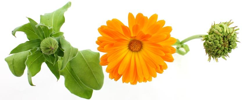 Calendula Flower 1