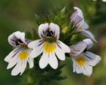 Know Your Remedies: Euphrasia Officinalis (Euphr.) 1