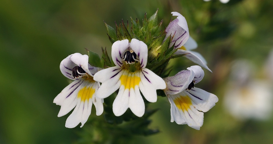 Know Your Remedies: Euphrasia officinalis (Euphr ) - Homeopathy Plus