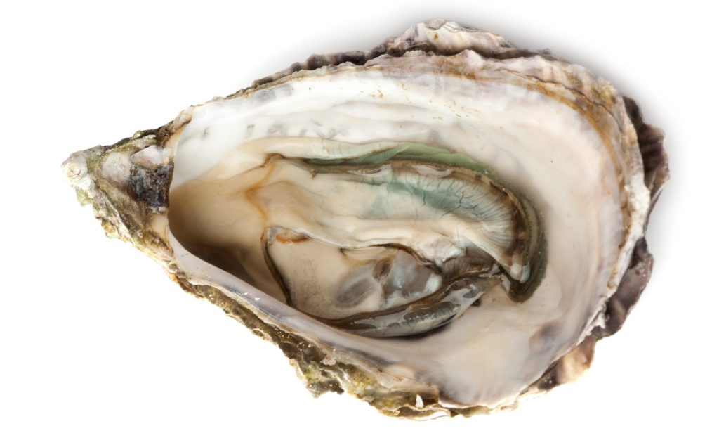 Oyster Shell 2