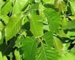 Painful Poison Ivy Rash – Treatment story 2