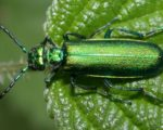 Know Your Remedies: Cantharis Vesicatoria (Canth.) 7